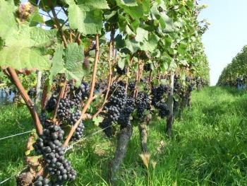 Wein Rot Pfalz